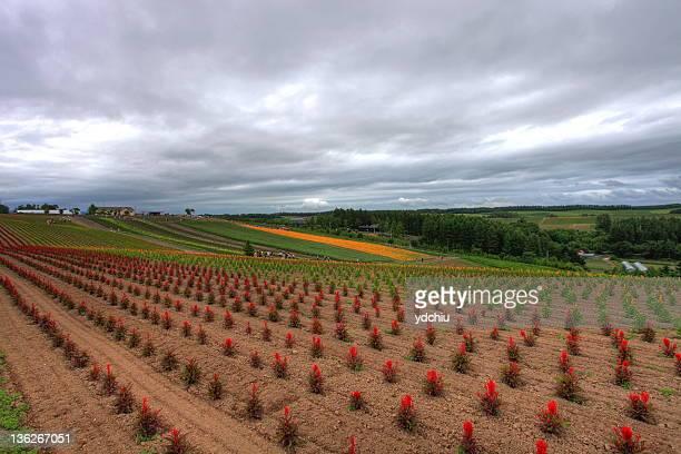 Potato field in Biei town