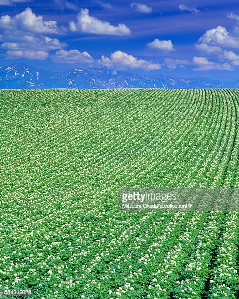 Potato field in bloom and Tokachi mountain range