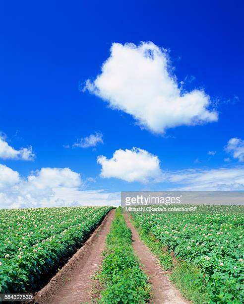 Potato field in bloom and tractor path