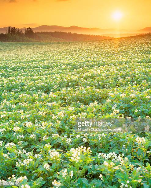 Potato field in bloom at sunset