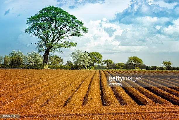 Potato field in spring