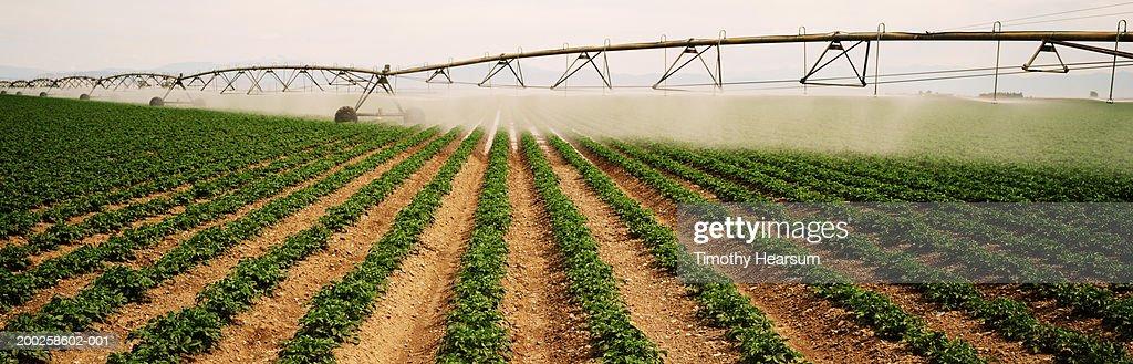 Potato field irrigation : Stock Photo