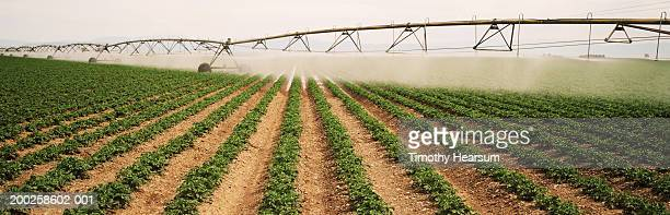 potato field irrigation - timothy hearsum stock pictures, royalty-free photos & images