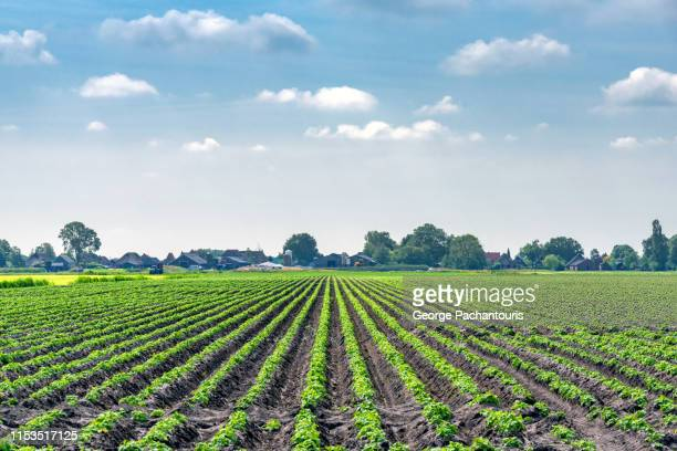 potato field on a summer day - rauwe aardappel stockfoto's en -beelden