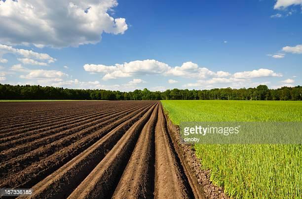 Kartoffel Field