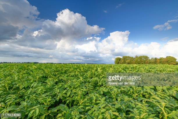 """potato field under a sky with impressive clouds after a summer thunderstorm - """"sjoerd van der wal"""" stock pictures, royalty-free photos & images"""
