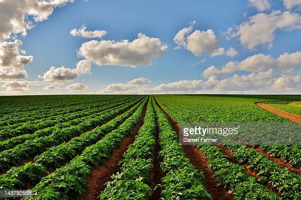 Potato field with cloudy sky