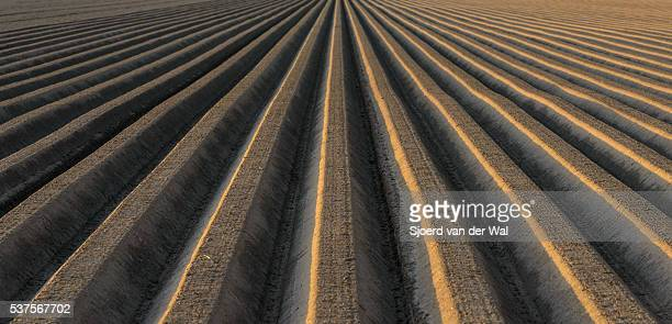 """potato field with straight line pattern - """"sjoerd van der wal"""" stock pictures, royalty-free photos & images"""