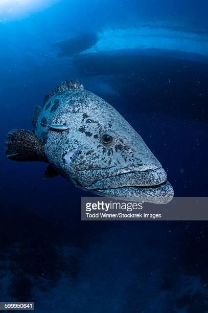 Potato grouper, Australia.