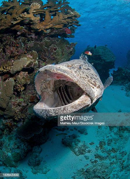 potato grouper, great barrier reef, queensland, australia. - grouper stock pictures, royalty-free photos & images