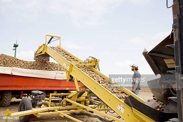 potato harvest, colorado, usa - potato harvest stock pictures, royalty-free photos & images