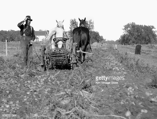 Potato harvesting in New York State USA c 1912