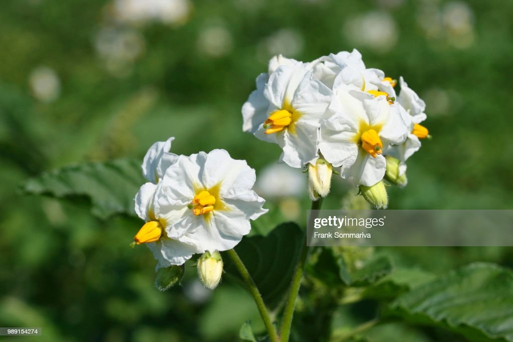 Potato Plant Solanum Rosum Flowering Thuringia Germany Stock Photo
