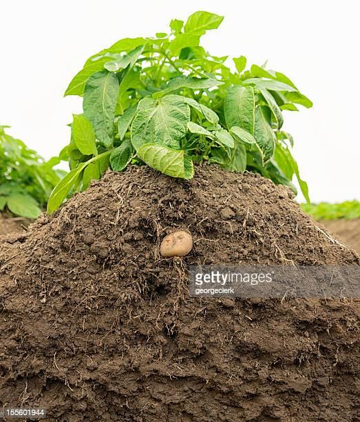 Potato Plant Growth in Soil
