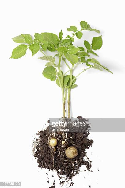potato plant - raw potato stock pictures, royalty-free photos & images