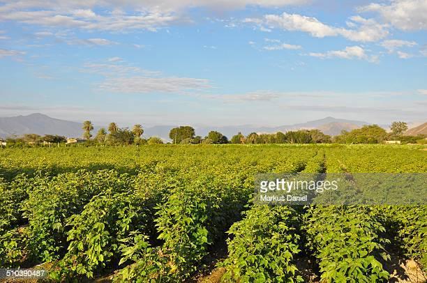 Potato Plantation in Nazca, Peru