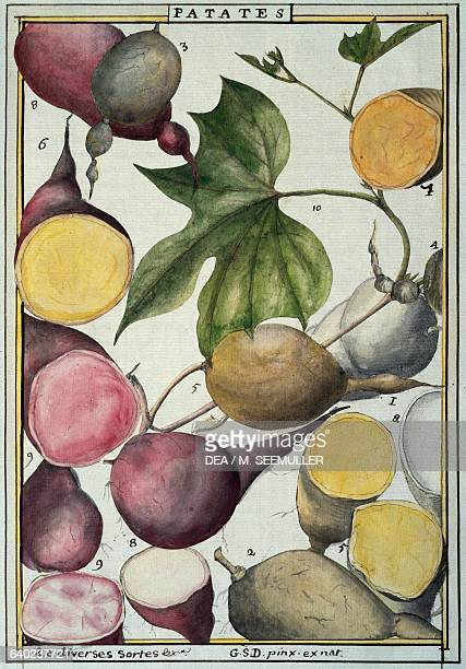 Potato watercolour by Delahaye from Florindie ou Historie physicoeconomique des vegetaux de la Torride herbarium from the 18th century Vincennes...