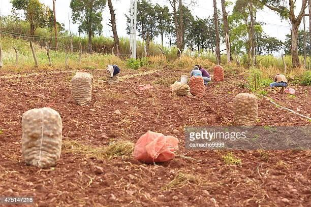 potato workers in venezuelan andes - venezuela stock pictures, royalty-free photos & images