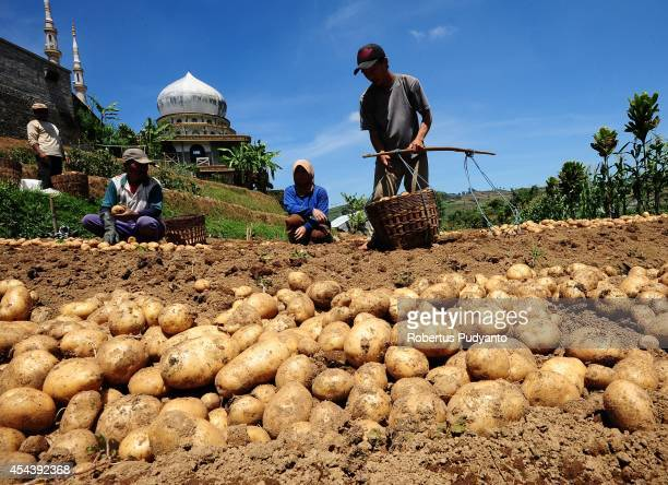 A potatoe farmer harvests in the Dieng Plateau on August 30 2014 in Dieng Java Indonesia The Dieng Culture Festival is an annual event presenting a...