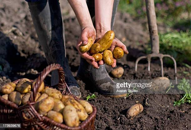 Potatoes and farmer hand