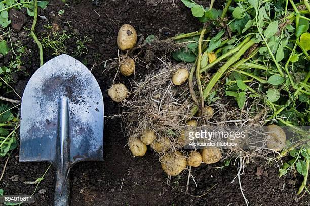 Potatoes and shovel in garden dirt