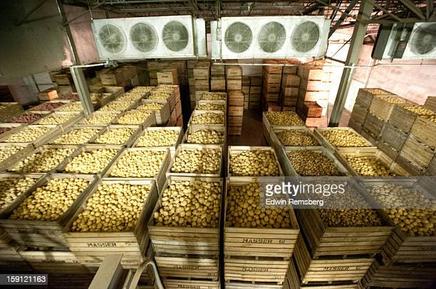 Potatoes being processed on potato farm