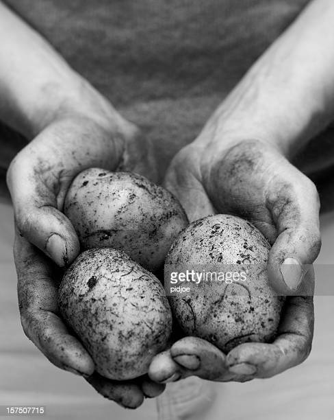 potatoes in dirty hands xxl - famine stock pictures, royalty-free photos & images