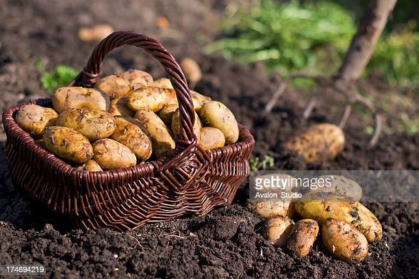 Potatoes in field