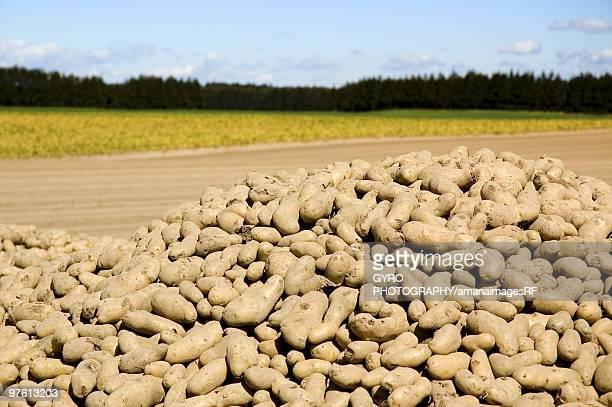 Potatoes in pile beside field, Tokachi, Hokkaido, Japan