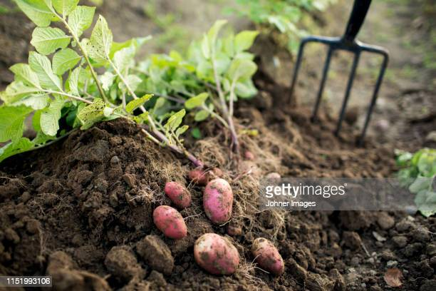 potatoes - root vegetable stock pictures, royalty-free photos & images