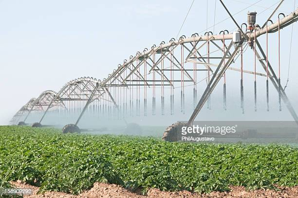 Potatoes planted in field being irrigated