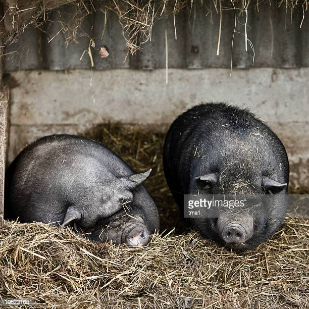 pot-bellied pigs - ugly pig stock pictures, royalty-free photos & images