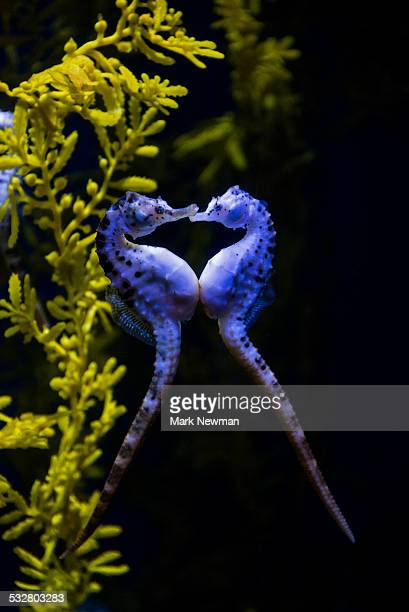 potbelly sea horse - fish love stock photos and pictures