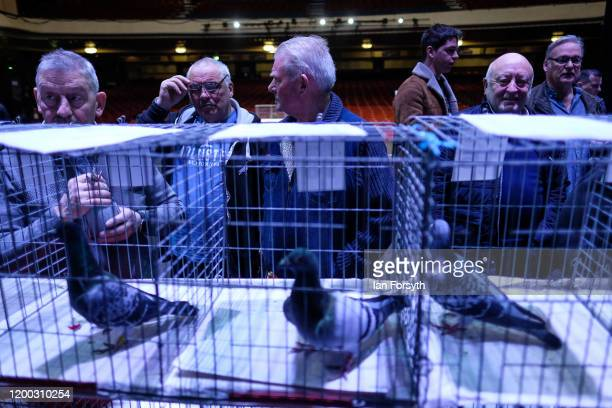 Potential bidders are bathed in stage lights as they inspect pigeons ahead of an auction on the first day of the annual British Homing Pigeon World...