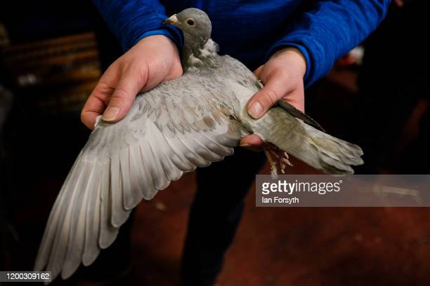 A potential buyer inspects the wing and feathers of a pigeon on the first day of the annual British Homing Pigeon World Show of the Year at Blackpool...