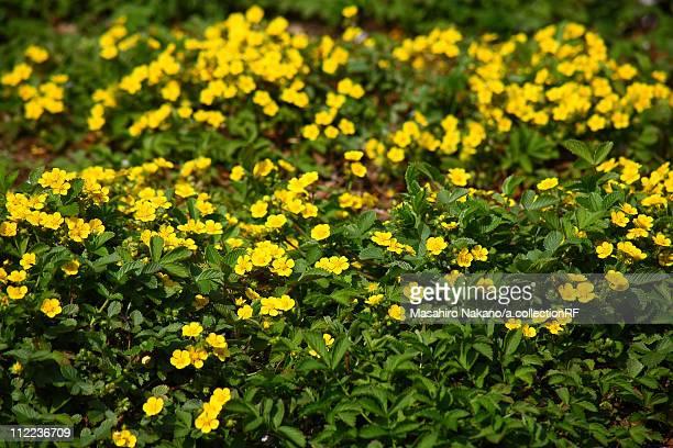 potentilla freyniana - chofu stock pictures, royalty-free photos & images