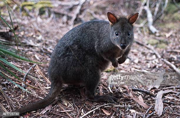 A potoroo a small native Tasmanian that belongs to the Kangaroo family Evolving to suit a temperate climate and dense vegetation habitat as opposed...