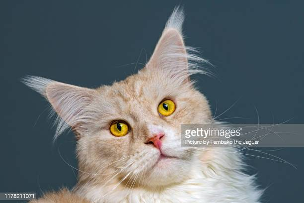 potrait of a beige maine coon - maine coon cat stock pictures, royalty-free photos & images