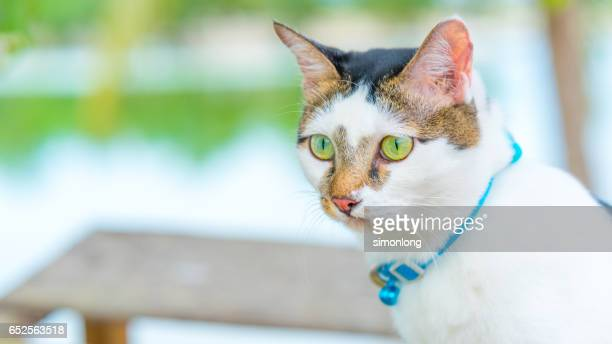 Potrait of A Cat with Blue Collar