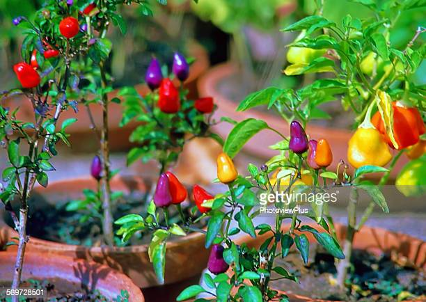 Pots of colorful peppers