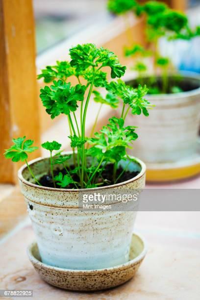 pots on the windowsill with parsley herbs growing. - peterselie stockfoto's en -beelden