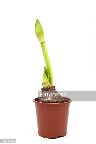 potted amaryllis bulb