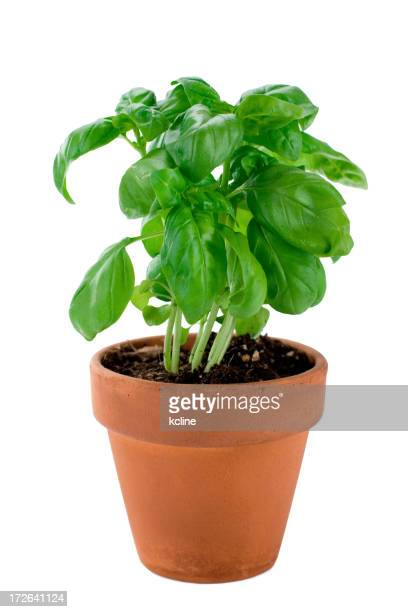 A potted basil plant ready for picking and cooking with