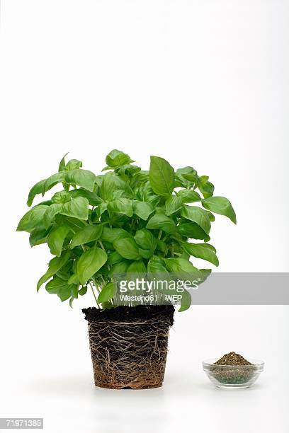 Potted basil with bowl, close-up