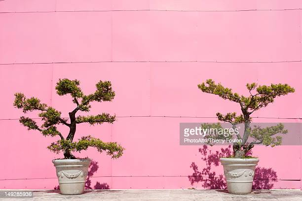 Potted bonsai trees against pink wall