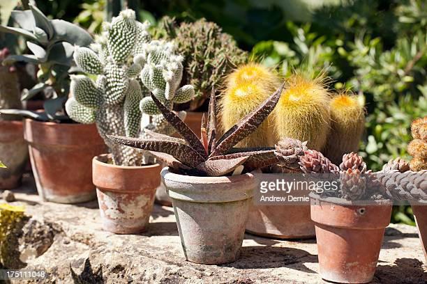 potted cactus - andrew dernie fotografías e imágenes de stock