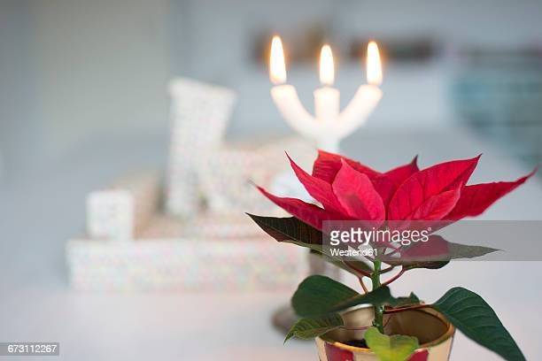 potted christmas star and christmas presents in the background - stella di natale foto e immagini stock