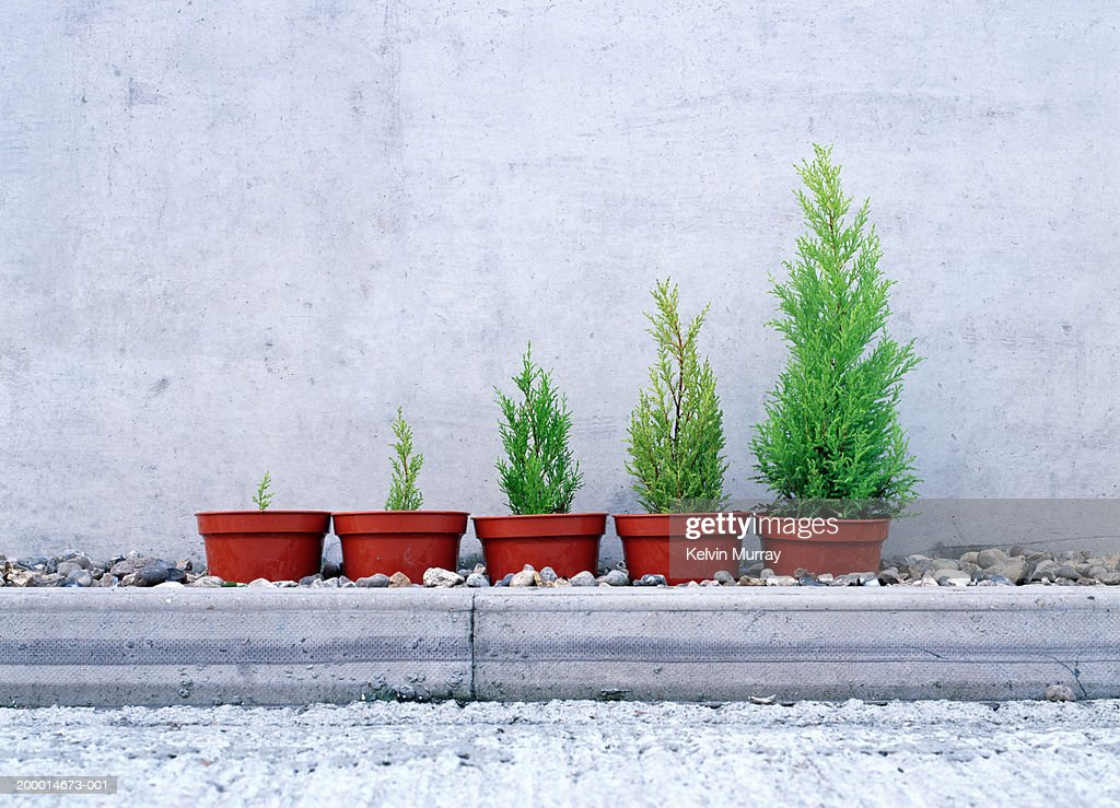 Potted conifers in size order : Stock Photo