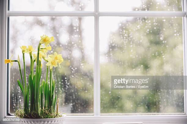 potted daffodils blooming on window sill at home - bortes stock-fotos und bilder