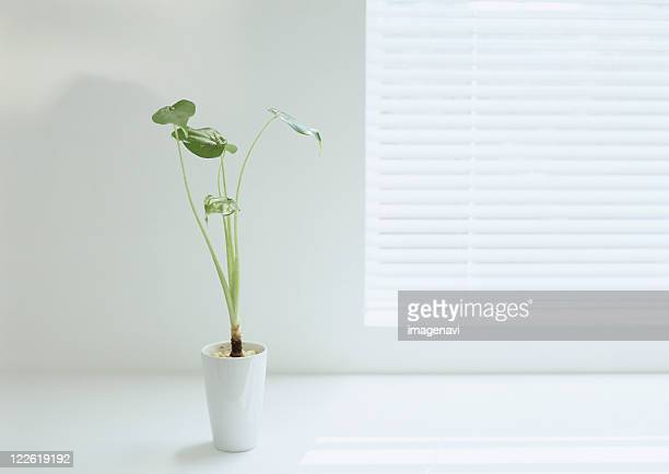 Potted dumb cane and window